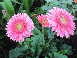 cay hoa cuc dong tien