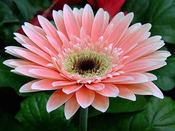 cúc đồng tiền , hoa cúc đồng tiền , cách trồng hoa cúc đồng tiền